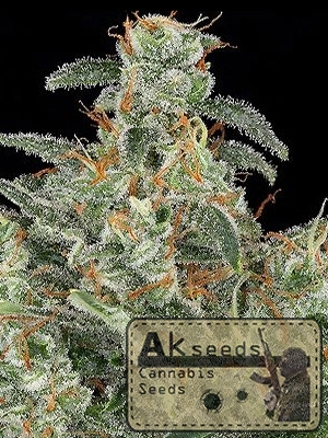 big white widow cannabis seeds cannabis marijuana akseeds
